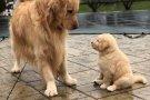 Yavru Köpek ve Annesi