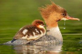 Anne ve Yavru Ördekler