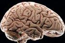 Beyin - İnsan Beyni