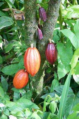 Kakao bitkisi