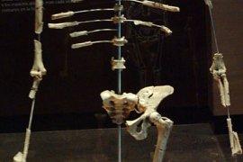 Lucy: Bulunan ilk Australopithecus afarensis