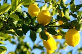 Dalındayken Limon
